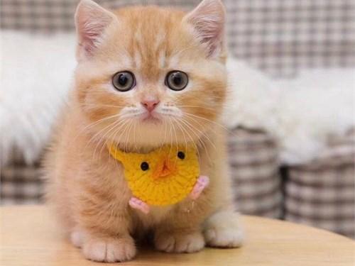 Registered Munchkin Cat