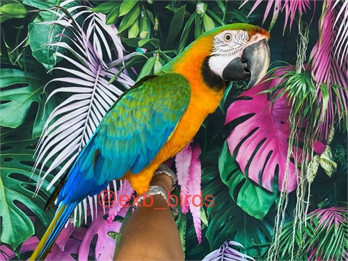 Tame Catalina Macaw