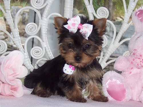 yorkie / puppies