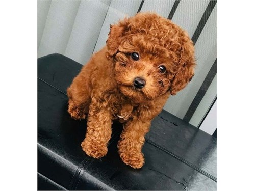 AKC Red Toy Poodle Puppy