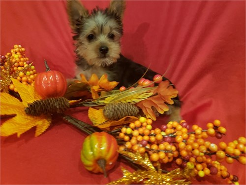 Toy Yorkie Puppies M/F