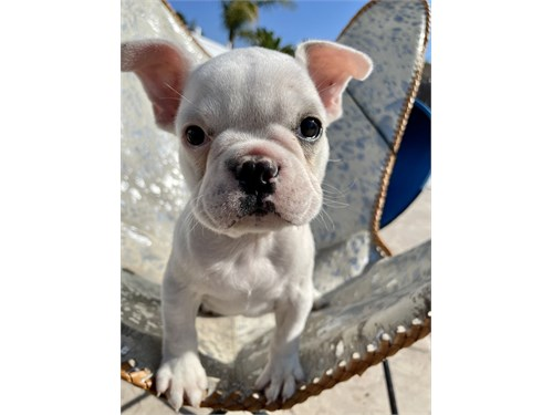 1 French Bulldog Puppy