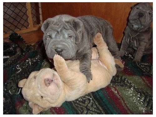 chinese sharpei pups
