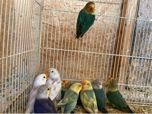 Baby Lovebirds For Sale