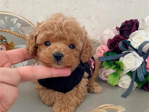 Tea cup poodle puppies