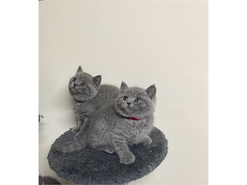 British-Shorthair-Kittens