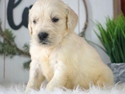 Lory Golden Retriever pup