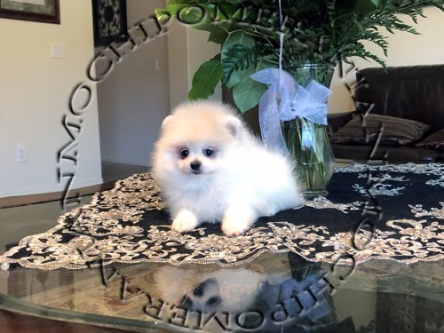 AKC Teacup White Male Pom