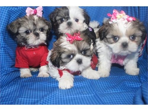 Shih Tzu puppies ready