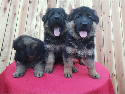 AKC Germanshepherd Pups