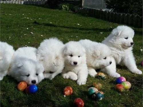 Samoyed Puppies 4 Sale