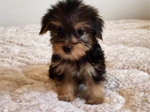 Small Morkie Pup