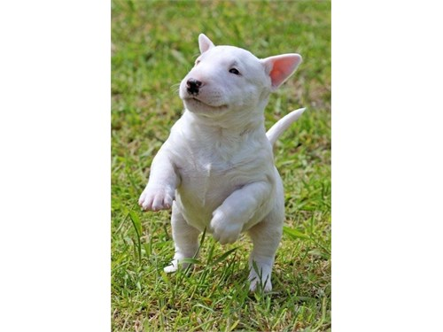 Special Bull Terrier Pups