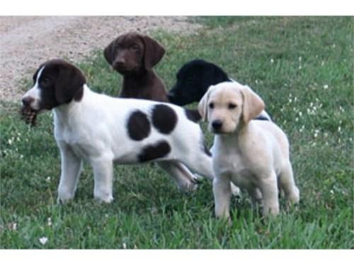 Labrador Hybrid Retriever
