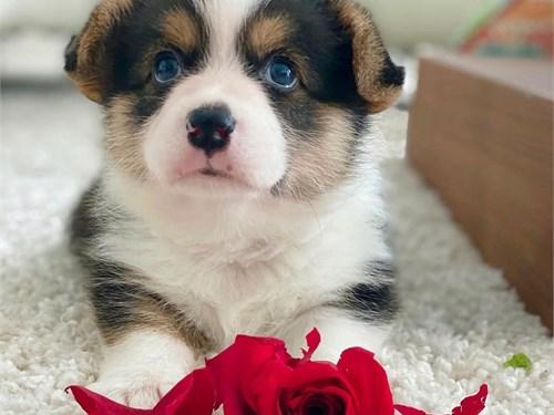 c.o.r.g.i 0 pup