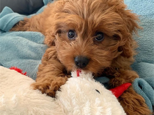 Cavapoo pups available