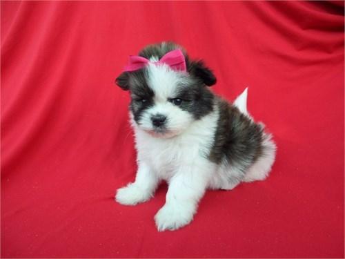 Yorkie Poodle Puppies