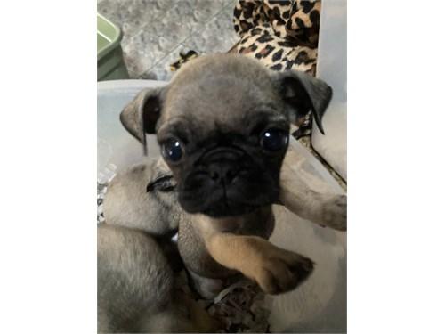Adorable Pugs