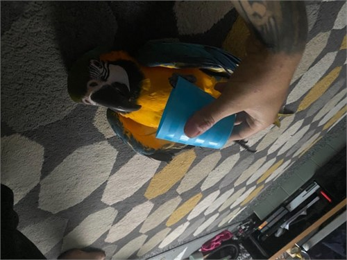 Cute Blue and Gold Macaw