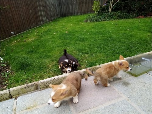 Top Quality Corgi Pups
