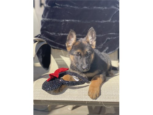 GERMAN SHEPHERD Puppy AKC