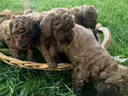 Tiny Goldendoodle