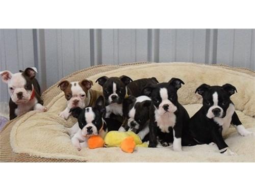 KC Boston Terrier Puppies