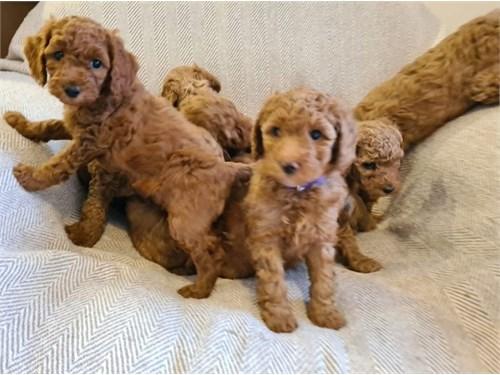 Cute Goldendoodles