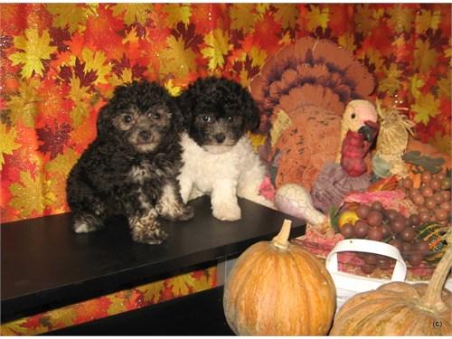 Purebred Tiny Toy Poodle Pets Las Vegas Nv Recyclercom