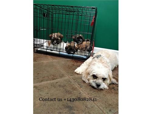 Teddy Baer puppies