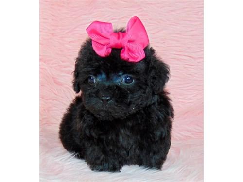 Poodle/ female- black