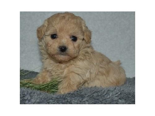 Calz Poodle Toy pups