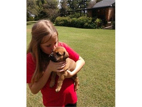 Anie Bullmastiff pups