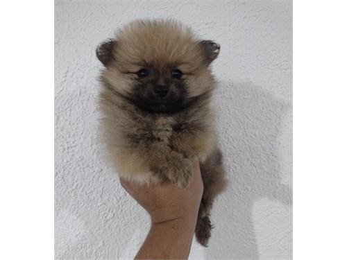 Lovely Pomeranian puppy