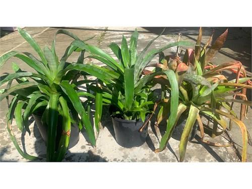 Large Bromeliads