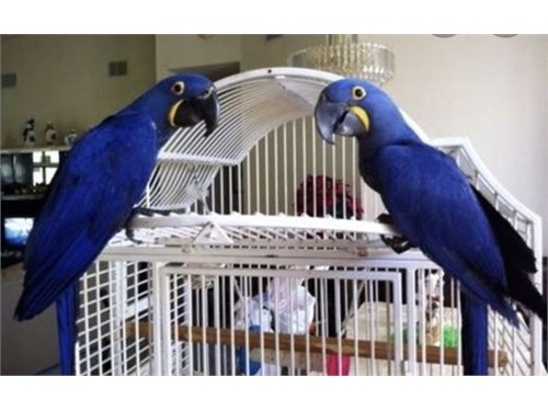 Talking Hyacinth Macaws