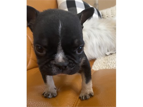 Male Mini French Bulldog