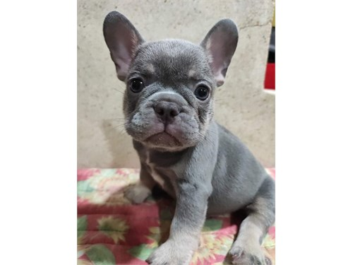 French Bull-dogs For Sale
