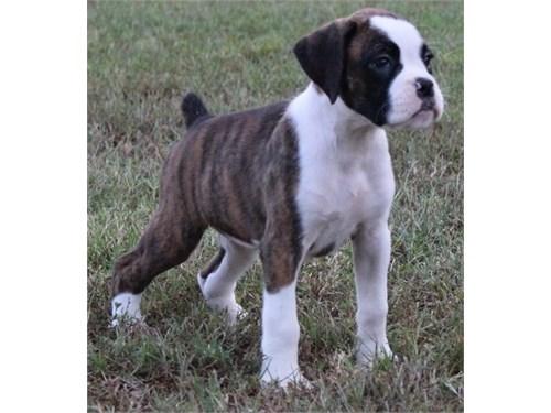 AKC Boxer puppies 4 Sale