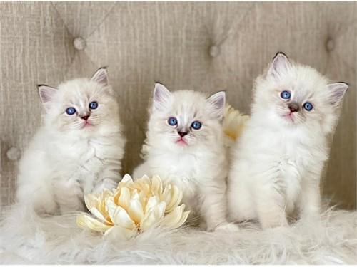 Ragdoll kittens TICA Reg.