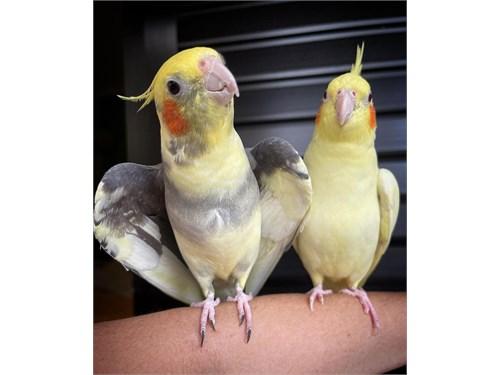 Pair cockatiel with cage