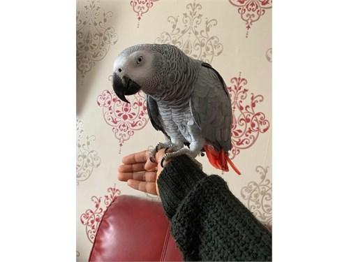 Hand Fed African Grey