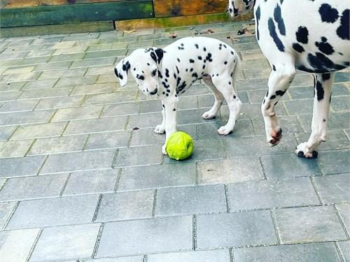 Cutie Dalmatian puppies