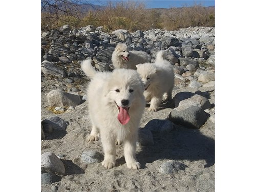 Samoyed grt Pyrenees pups
