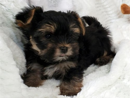 Pure breed AKC Yorkie pup