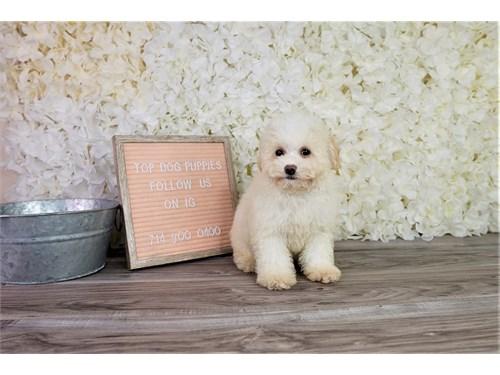 Binchonpoo puppy