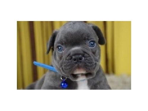 Sweet French bulldog pups