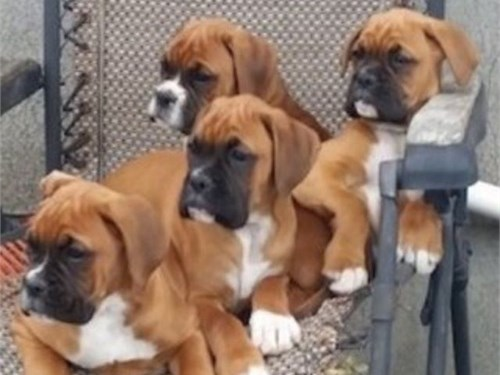 Male boxer puppy
