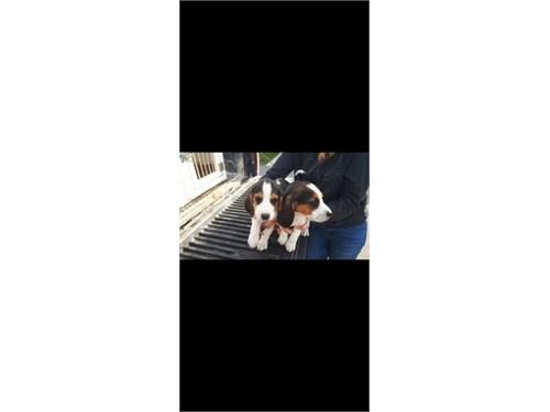 Beagle puppies! Ready