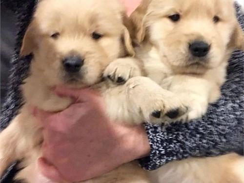 Adorable golden puppies